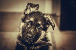 Одно ухо висит у щенка