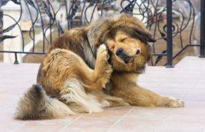 Собака чешет уши
