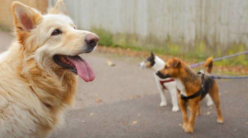 Течка у собаки