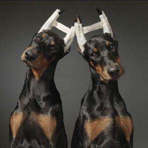 У собаки не встают уши