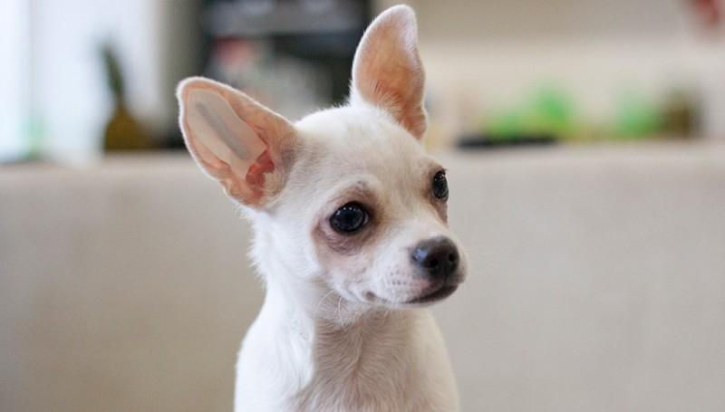 У собаки встают уши