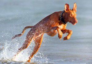 Фараонова собака характер