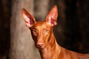 Фараонова собака происхождение