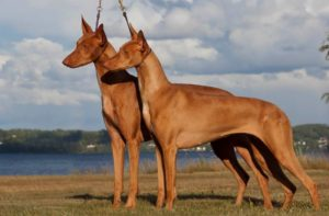 Фараонова собака стандарт