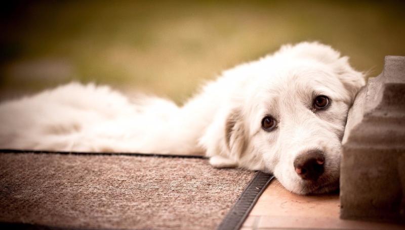 Панкреатит у собак