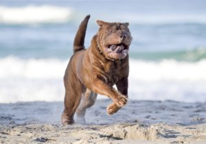 Собака шарпей на прогулке