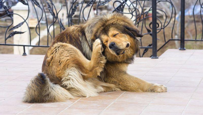 Дерматит у собаки