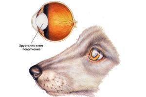 Схема катаракты у собак