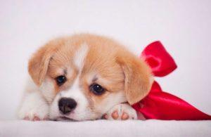 Обнаружение грыжи у щенка