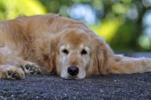Микоплазмоз у собак причины