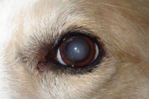 Помутнение хрусталика у собаки