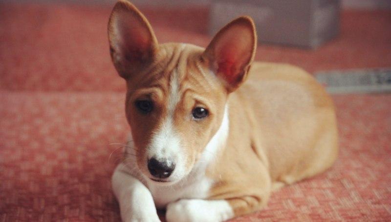 Пупочная грыжа у щенка