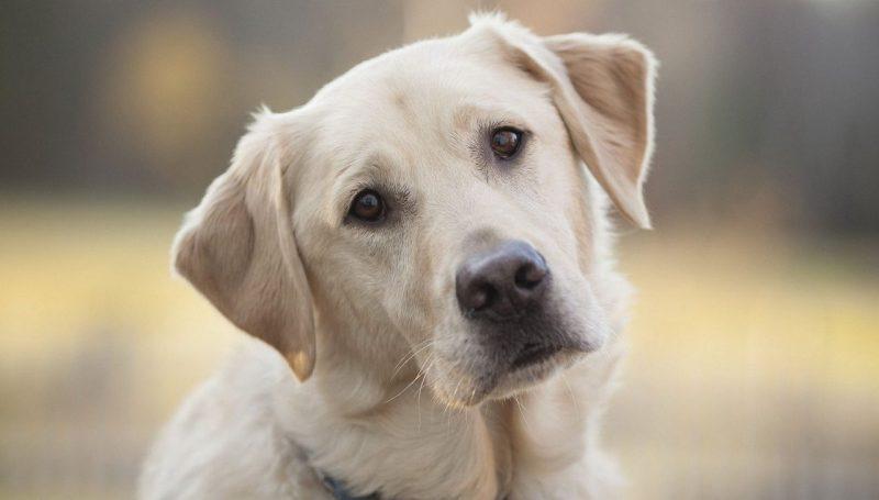 Рак у собаки