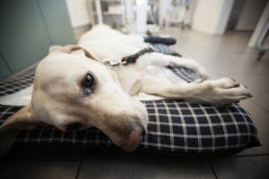 Защемление межпозвоночных нервов у собаки