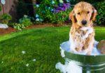 Мытье собаки в домашних условиях