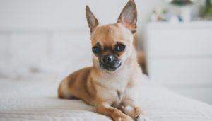 Порода собак чихуахуа