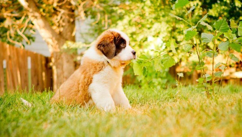 Как правильно выбрать щенка сенбернара