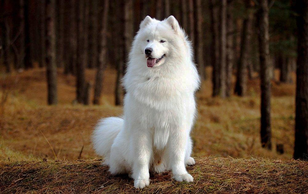 Порода собаки самоед фото