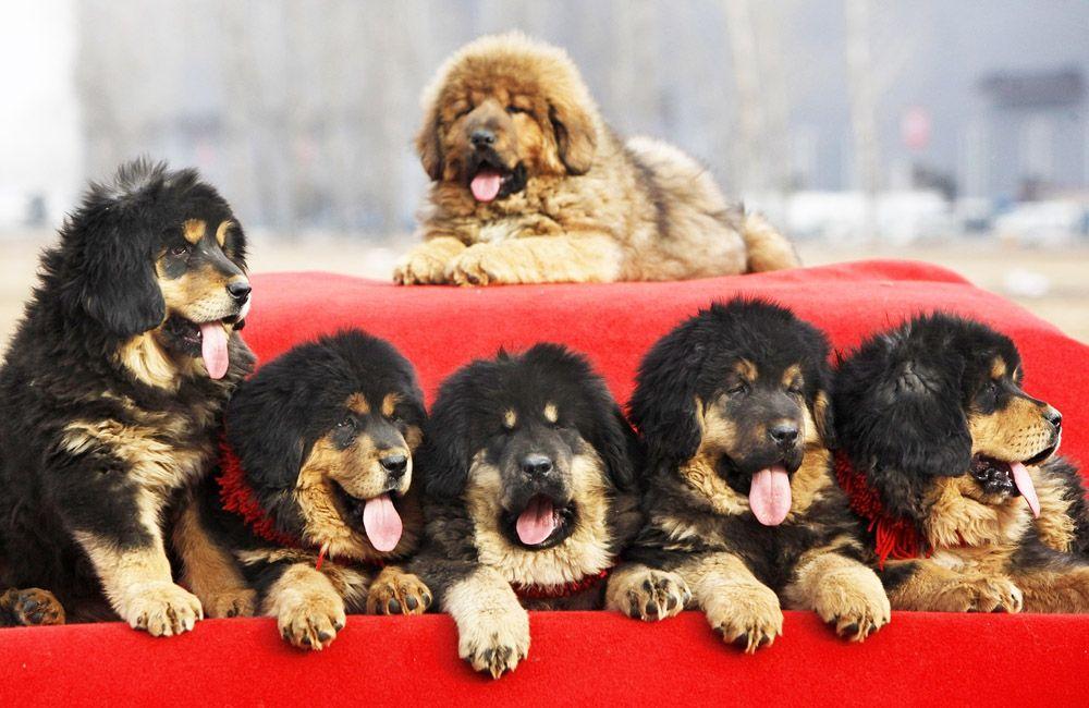 мастиф тибетский щенок