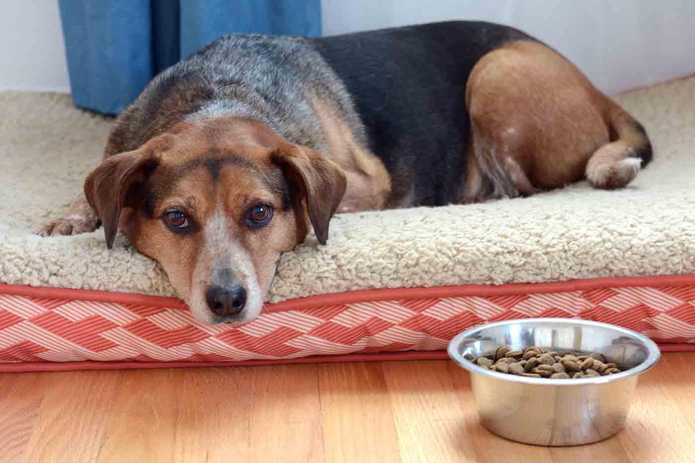Собака Не Ест Похудела. Собака худеет и ничего не ест: причины и что делать