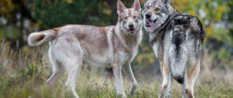 Порода собак Волкособ - внешний вид, характер, уход 1