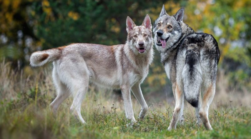 Порода собак Волкособ - внешний вид, характер, уход 2