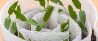 Выращивание рассады перца в улитках 2