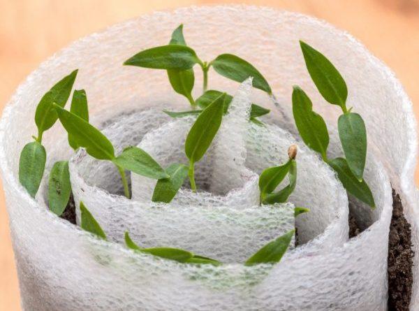 Выращивание рассады перца в улитках 1