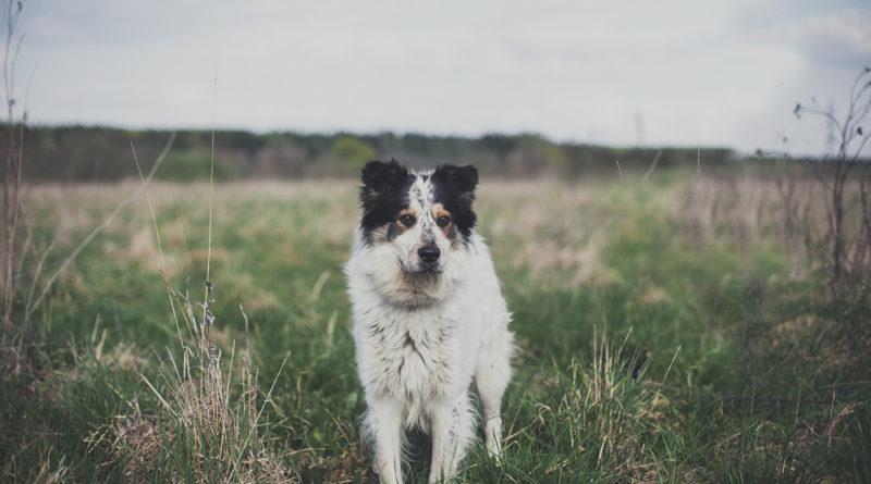 Pedigree – безграничная любовь к собакам 1