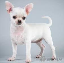 миниатюрные породы собак